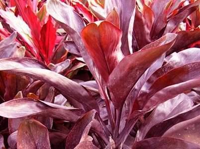 Cordilina cordyline australis silva fiori fiorista a for Pianta con foglie rosse