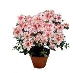 Catalogo prodotti silva fiori fiorista a domodossola for Catalogo piante e fiori